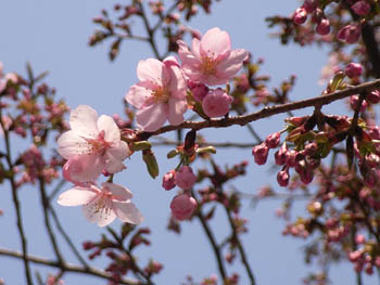 06_0324_sakura.jpg