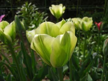 06_0422_tulip2.jpg