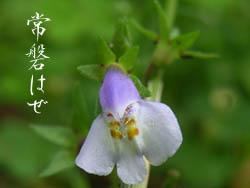 06_0619_tokiwahaze3.jpg