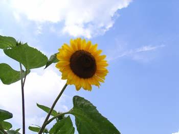 06_0822_sunflower.jpg