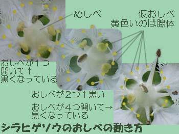 06_0902_sirahigeso6.jpg