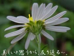 06_1107_yugagiku2.jpg