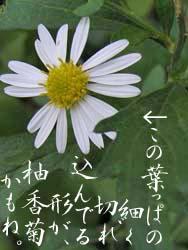 06_1107_yugagiku3.jpg