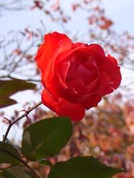 06_1201_rose.jpg