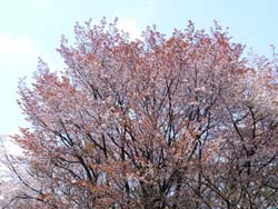 07_0407_y_sakura1.jpg