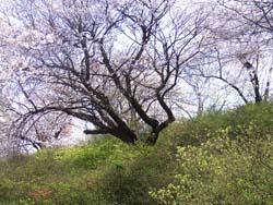 07_0411_sakura.jpg