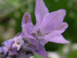 07_0501_lavender2_.jpg