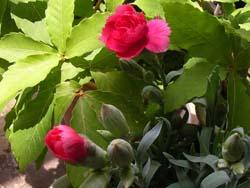 07_0612_carnation.jpg