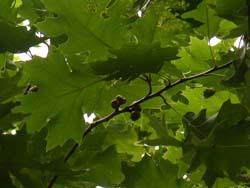 07_0730_acorn.jpg