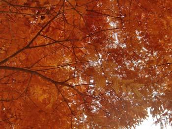 07_1201_metasequoia6.jpg