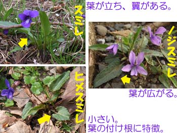 08_0410_3sumire.jpg