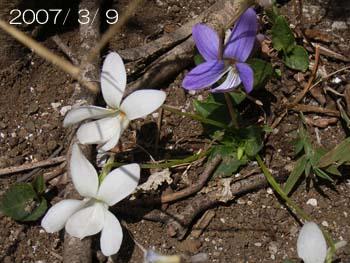08_0411_kosumire2.jpg