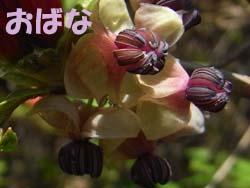 08_0415_akebi4.jpg