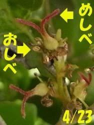 08_0425_isunoki4.jpg