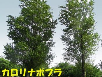 08_0514_c_poplar04.jpg