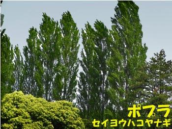 08_0514_poplar.jpg