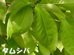 08_0521_tamusiba2.jpg