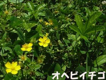 08_0601_ohebiitigo2.jpg