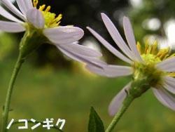08_1013_nokon_giku5.jpg