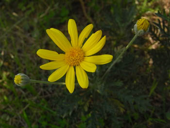 08_1029_euryops_daisy1.jpg
