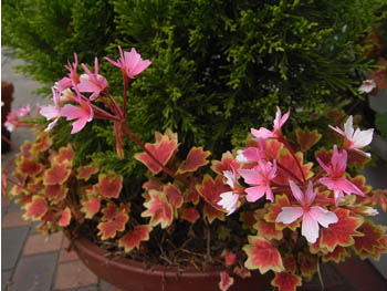 08_1112_geranium.jpg