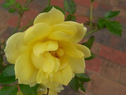 08_1112_miniature_rose1.jpg