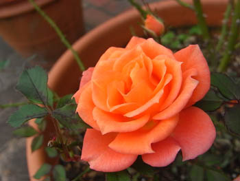 08_1112_miniature_rose2.jpg