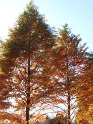 08_1127_meta_sequoia1.jpg