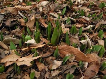 09_0211_tulip2.jpg