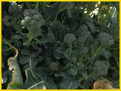 09_0331_broccoli4.jpg