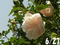 09_0814_mukuge1.jpg