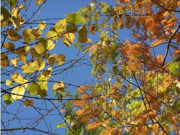 09_1123_metasequoia1.jpg