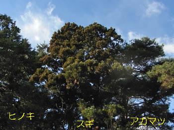 10_0117_hinoki_sugi_matu1.jpg