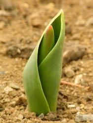 10_0210_tulip.jpg