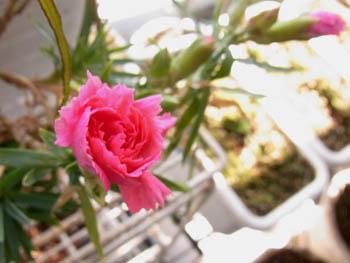 10_0314_carnation.jpg