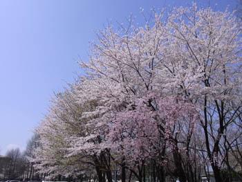 10_0410_sakura1.jpg