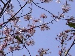 10_0417_sakura8.jpg