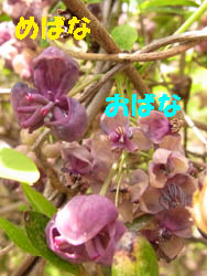 10_0421_akebi2.jpg