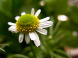 10_0531_chamomile1.jpg