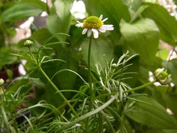 10_0531_chamomile2.jpg