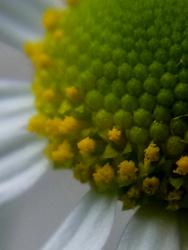 10_0531_chamomile5.jpg