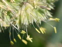 10_0613_orchard_grass2.jpg
