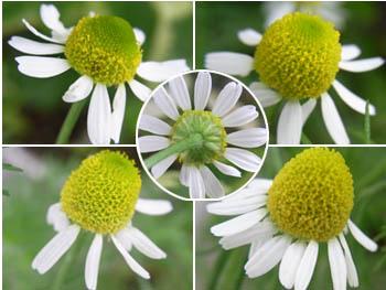 10_0624_chamomile1.jpg