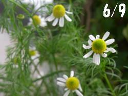 10_0624_chamomile2.jpg