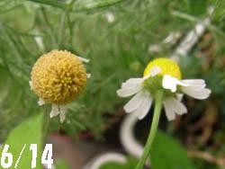 10_0624_chamomile3.jpg