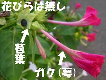 10_0905_osiroibana8.jpg