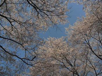 11_0414_sakura2.jpg