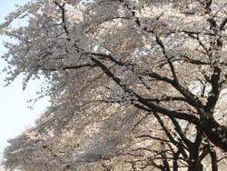 11_0414_sakura4.jpg