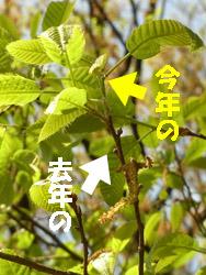 11_0505_kunugi2.jpg