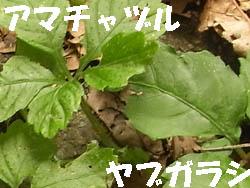 11_0624_yabu_amatya2.jpg